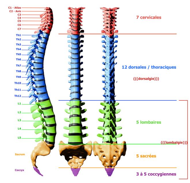 Délimitation des zones de la colonne vertébrale. L'arthrose cervicale concerne plutôt les cervicale de C1 à C7